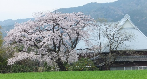 kanzaki sakura